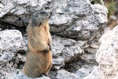 Marmot on the lookout (Picturavis) Tags: italien murmeltier pueznationalpark säugetier marmota marmot animal mammal trentinoaltoadige italy dolomiten dolomites südtirol