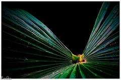 Fächer / subjects (Reto Previtali) Tags: palmen palmenblatt nikon flickr digital schwarz grün gelb farben tropfen wasser regen sommer sonne licht fächer natur pflanzen linien formen green day picture foto color bw black flower flowers yellow water