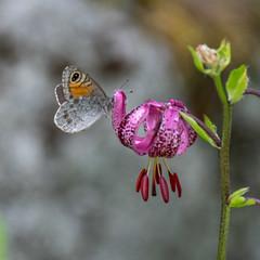 (Alain Bachellier) Tags: chamonix flore lechapeau lysmartagon montagne moutain papillon paysdumontblanc rando lis lismartagon