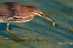 Young Green Heron with a Fish (Let there be light (Andy)) Tags: texas texasbirds birds brazosbend brazosbendstatepark heron greenheron fishing young 82018 feeding