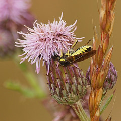 2018_07_0346 (petermit2) Tags: sawfly tenthredo northcavewetlands northcave brough eastyorkshire eastridingofyorkshire yorkshire yorkshirewildlifetrust ywt wildlifetrust wildlifetrusts