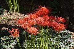 Red Spider Lily (Jim Atkins Sr) Tags: redspiderlily redmagiclily spiderlily lycorisradiata garden northcarolina newbern flower lilies red gertrudecarrawaygarden tryonpalace sony sonyphotographing sonya58