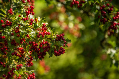 SJ1_0316 - Summer Hawthorn (SWJuk) Tags: colne england unitedkingdom swjuk uk gb britain foulridge canal leedsliverpoolcanal towpath berries hawthorn bokeh 2018 nikon d7200 nikond7200 18300mm rawnef lightroomclassiccc outdoor summer aug2018