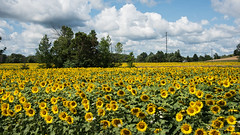 Summer Days D7C_7099 (iloleo) Tags: flowers sunflower field yellow nature ontario landscape rural farm nikon d750
