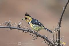 Kuifbaardvogel of druppelvlekbaardvogel - Trachyphonus vaillantii (rinus64) Tags: kuifbaardvogel druppelvlekbaardvogel trachyphonusvaillantii d500 nikon mapungubwe southafrica zuidafrika southafricannationalparks limpopo kuifkophoutkapper