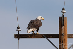 September 2, 2018 - A Bald Eagle stakes out a pole in Adams County. (Tony's Takes)
