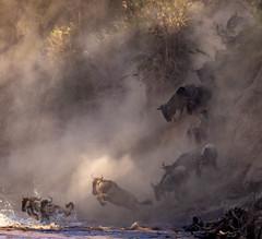 That sense of wonder at the Great Migration (frankmetcalf) Tags: maasaimara kenya migration wildebeest river marariver crossing bluffs eastafrica savannah entimcamp davidlloyd elliottneep
