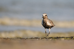 Black Bellied Plover (ayres_leigh) Tags: bird animal nature migration fall water plover beach canon