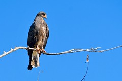 Snail Kite (bmasdeu) Tags: snail kite raptor nativebird florida wildlife