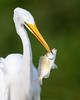 Great Egret (PeterBrannon) Tags: bird fish florida fortdesoto greategretardeaalba nature tampa water wildlife catchingfish closeup ocean