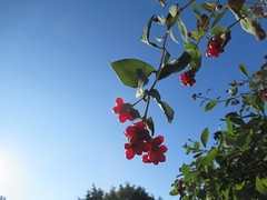Friday, 7th, Filled with berries IMG_5869 (tomylees) Tags: essex morning autumn september 2018 7th friday garden sunshine red berries honeysuckle
