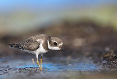 On the hunt! (Jeannine St-Amour Photography) Tags: bird shorebird semipalmatedplover migration nature wildlife fall