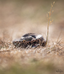 Adder (LeFoto - photography by Peter Le Cointe) Tags: newforestphotography hampshirephotography newforest wildlife snakes vipers viperaberus adder petelecointe lefoto