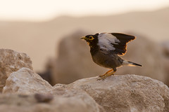 Maina comune (Milo Manica) Tags: acridotherestristis maina uccello bird oiseau israele palestina alba canon eos 60d tamron 7030