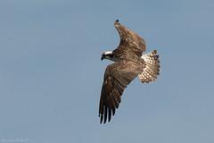 Fischadler (christianweber2405) Tags: osprey fish sea fly fliegen birdofprey d500 150600 sigma