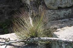 Tillandsia_sp_Chinkultic_1_2 (Mark Egger) Tags: tillandsia bromeliaceae