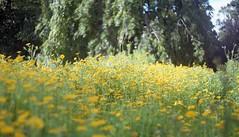 Untitled (Mrs.Black&White) Tags: bloominghaddington haddington flowers zenitb helios tetenal c41 35mm film handpro handprocessed fuji