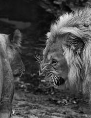 No means No (MudMapImages) Tags: lion lioness