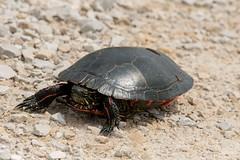2017 Western Painted Turtle 2 (DrLensCap) Tags: western painted turtle dike road horicon marsh national wildlife refuge mayville wisconsin animal amphibian robert kramer