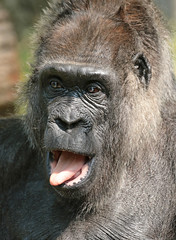 western lowlandgorilla Fatou Berlin Zoo JN6A3869 (j.a.kok) Tags: aap animal africa afrika ape mammal monkey mensaap primate primaat zoogdier dier gorilla westelijkelaaglandgorilla westernlowlandgorilla lowlandgorilla laaglandgorilla berlijn berlijnzoo fatou