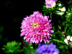 Aster. (andrzejskałuba) Tags: polska poland pieszyce dolnyśląsk silesia sudety europe plant panasoniclumixfz200 roślina kwiat flower flora floral aster zieleń green garden ogród pink różowy fiolet violet pąki buds natura nature natural natureshot natureworld macro beautiful color
