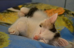 Little Arya 🐾❣️ (giuliaph.) Tags: kitten arya cat meow miao gatto female cute asleep sleep sleeping sleepy goodnight cutie