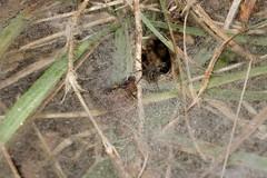 Funnel Web (Grass) Spider (brucetopher) Tags: funnel web spider grass dew mist misty wet water droplet drops moist damp rain fog