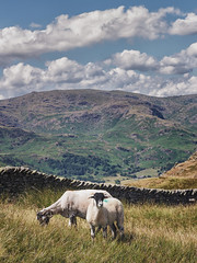 Minding their own business (grobigrobsen) Tags: greatbritain unitedkingdom england northernengland cumbria lakedistrict nabscar hiking travel sheep animals view landscape hills clouds nature outdoor