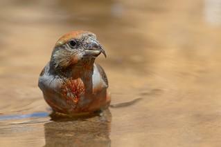 Crossbill Bathtime