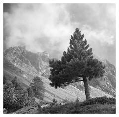 young pine (timpuget) Tags: analogue alps valfréjus savoie ddx delta pine tree kiev 60 france kiev60 ilford