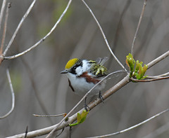Chestnut-sided Warbler (Digital Plume Hunter) Tags: