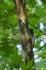 Immature Red-headed Woodpecker_N7562-001 (Henryr10) Tags: eastforklake eastforkstatepark bethelohio littlemiamiriverbasin usa southbeach melanerpeserythrocephalus melanerpes redheadedwoodpecker woodpecker avian bird vogel ibon oiseau pasare fågel uccello tékklistar rhwo