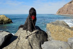 """""""Here I am again, perched on another rock but they did remember to invite me this time."""" by Benni Girl (Bennilover) Tags: 52weeksfordogs benni labradoodle bandana water rocks posing family visiting fun bennigirl danapoint staycation vacation"""