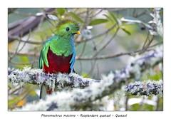 Resplendent quetzal (Jan H. Boer, Nature photographer) Tags: pharomachrusmocinno resplendentquetzal quetzal birds specialbirds nature wildlife costarica sangerardodedota nikon d500 afsnikkor200500f56eedvr jan´sphotostream2018