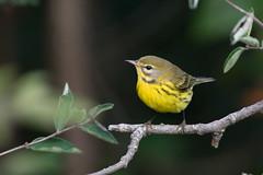 Prairie Warbler (Jesse_in_CT) Tags: prairiewarbler warbler nikon