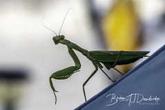 A Praying Mantis keeps watch (dandridgebrian) Tags: greece kioni mantis insects