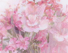 Alstroemeria (Laura Drury) Tags: alstroemeria flowers petals bouquet pink doubleexposure