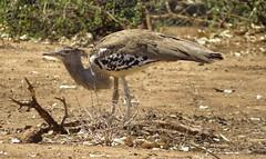 Kori Bustard (Pixi2011) Tags: birds krugernationalpark africa nature