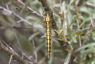 Female Black-tailed skimmer (Orthetrum cancellatum) Oeverlibel