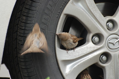 Sparrows ©  Andrey
