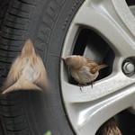 Sparrows thumbnail