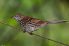 Another bird on a wire (Fred Roe) Tags: nikond810 nikkorafs80400mmf4556ged nature wildlife birds birding birdwatching birdwatcher thrasher brownthrasher toxostomarufum peacevalleypark