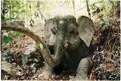 (grousespouse) Tags: vietnam 35mm analog film nikonf3 nikonseriese28mmf28 fujicolorc200 analogue argentique elephant abandoned dalat phim croplab grousespouse 2018