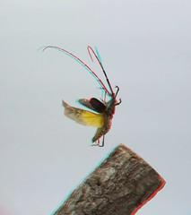 Psacothea hilaris, anaglyph (Mushimizu) Tags: longicornbeetle beetle psacotheahilaris キボシカミキリ stereo 3d anaglyph