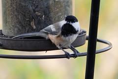 Black Capped Chickadee (Bucky-D) Tags: avian bird chickadee blackcappedchickadee fz1000 panasoniclumixdmcfz1000 headingley manitoba canada ca