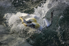 Gannets v Fish (1 of 3) (andy_harris62) Tags: gannets fish bird seabird action nikon water sea ocean