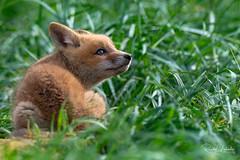 Red Fox - Vulpes vulpes   2018 - 23 (RGL_Photography) Tags: carnivora fox gardenstate jerseyshore kits monmouthcounty mothernature newjersey nikonafs600mmf4gedvr nikond500 redfox us unitedstates vixen vulpesvulpes wildkingdom wildlife wildlifephotography ©2018rglphotography