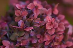 Hydrangea Cloud (SunnyDazzled) Tags: hydrangea bloom purple flowers macro rosy warm evening summer garden orangecounty arboretum newyork hdr soft shallow dof