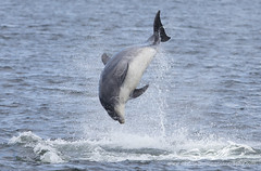 BND-6730 (David Jefferson Photo) Tags: bottle nose dolphin dolphins whales cetaceans whale scotland highland highlands inverness fortrose rosemarkie chanonry point watching wildlife breach breaching salmon fin dorsal fluke flukes tursiops truncatus delfin
