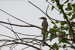 Indian Grey Hornbill (धनचिड़ी, चलोत्रा, सेलगिल्ली, धनेश) / Ocyceros birostris (jhureley1977) Tags: indiangreyhornbill धनचिड़ी चलोत्रा सेलगिल्ली धनेश ocycerosbirostris birds birding birdsofindia birdsindia ashjhureley avibase naturesvoice bbcspringwatch rspbbirders orientbirdclub jabalpur jabalpurbirds ashutoshjhureley rspb